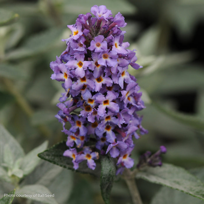 Flutterby Petite® Blue Heaven Butterfly Bush - Buy Plants Online