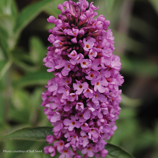 Flutterby Petite® Tutti Fruitti Pink Butterfly Bush up close, bloom