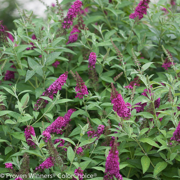'Miss Molly' Butterfly Bush - Buy Plants Online