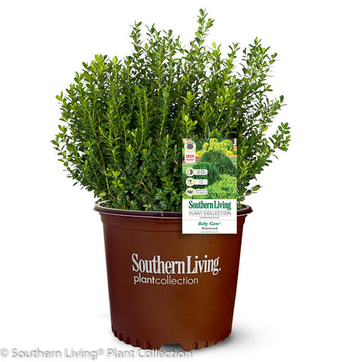 Baby Gem™ Boxwood in container