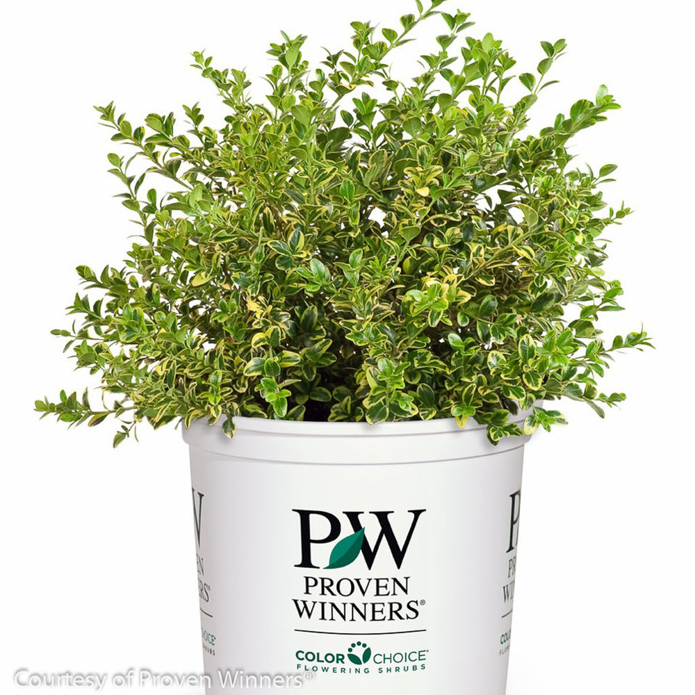Wedding Ring™ Boxwood in container