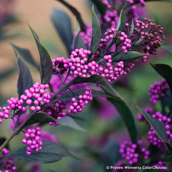 Pearl Glam® Beautyberry - Buy Plants Online