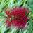 'Woodlander's Hardy' Bottlebrush - Buy Plants Online