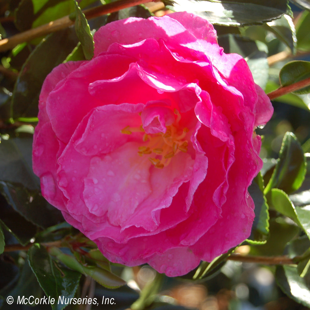 'Rose of Autumn' Camellia - Buy Plants Online