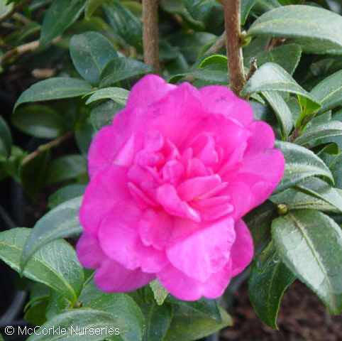'William Lanier Hunt' Camellia