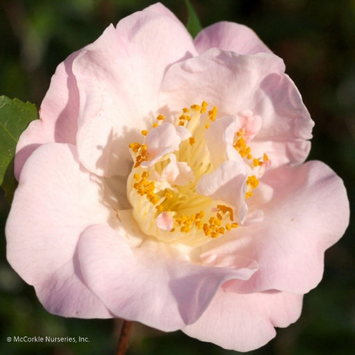 'High Fragrance' Camellia - Buy Plants Online