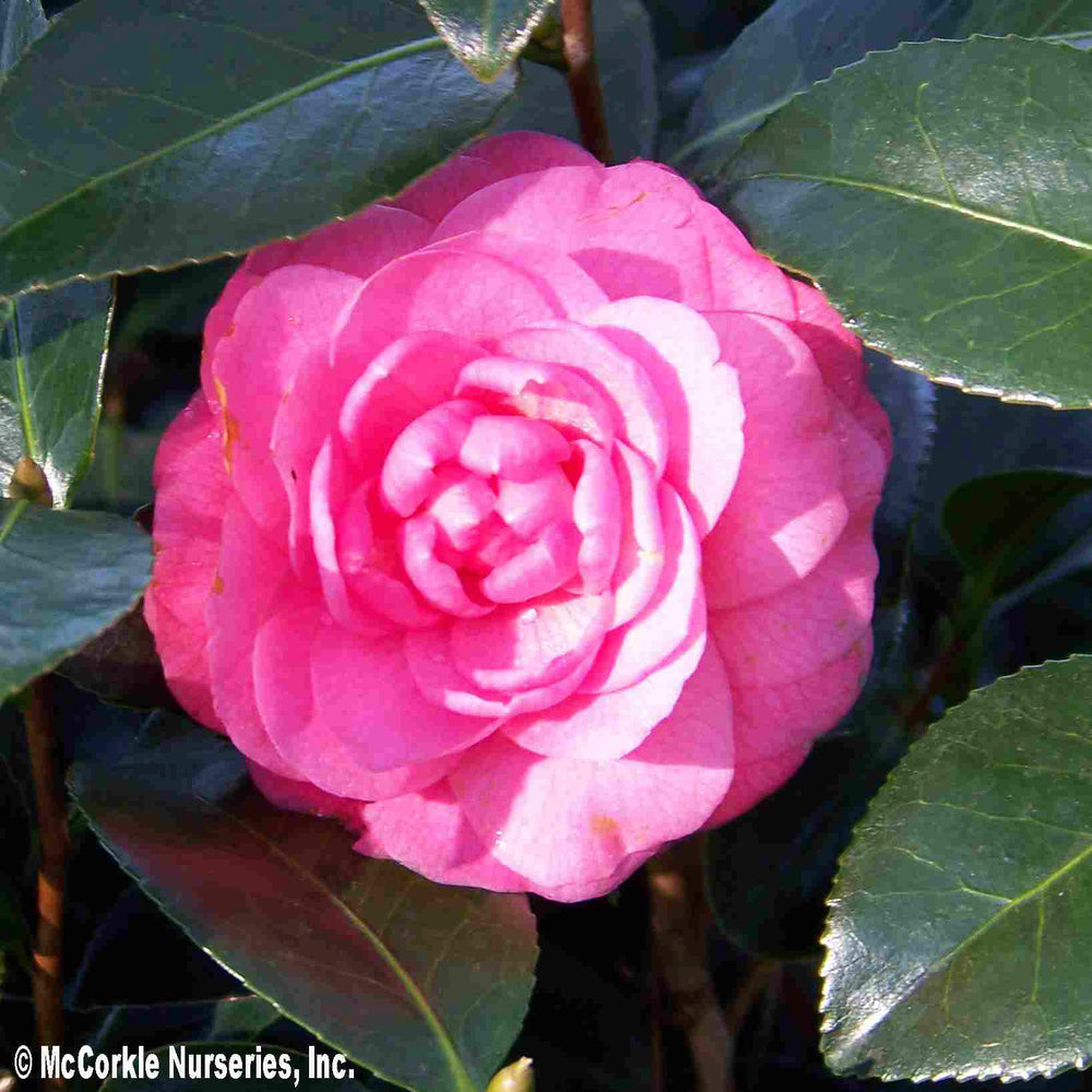 'April Kiss' Camellia