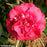 'April Tryst' Camellia - Buy Plants Online