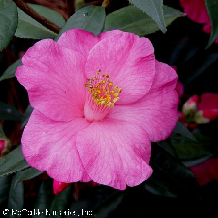 'Crimson Candles' Camellia
