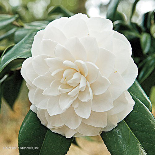 'Morning Glow' Camellia - Buy Plants Online