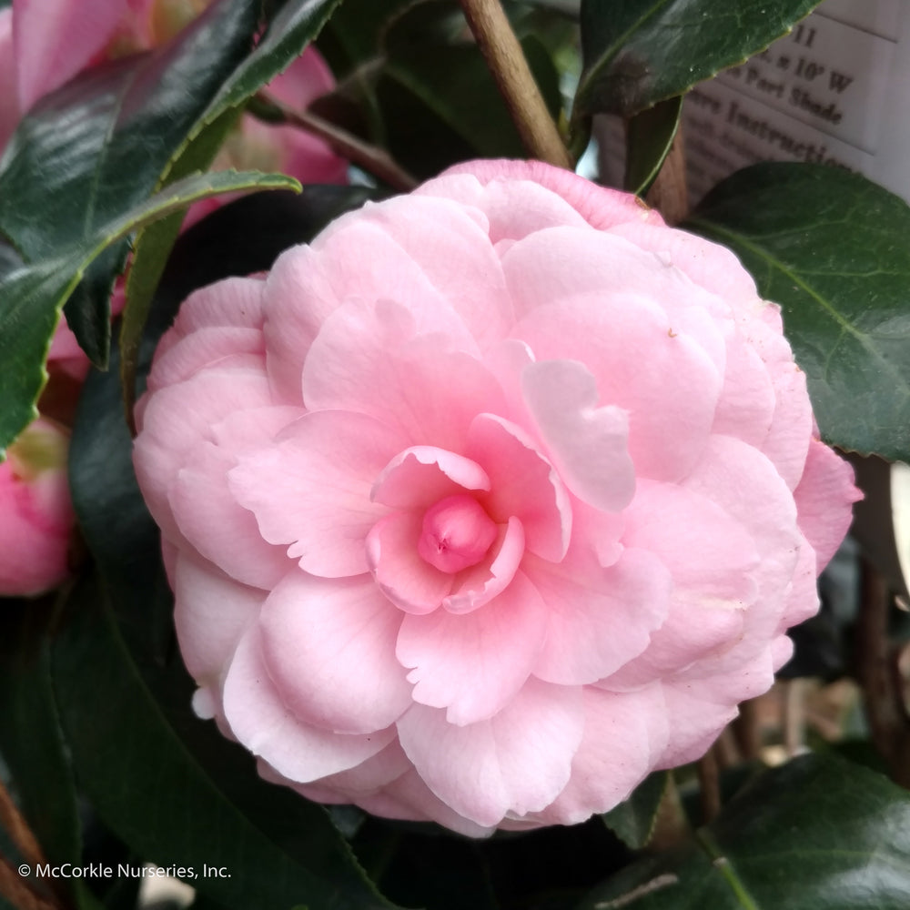 'Pink Perfection' Camellia - Buy Plants Online