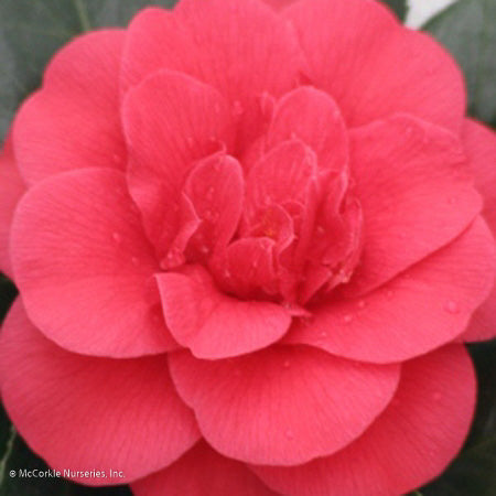 'Rose Hill Red' Camellia