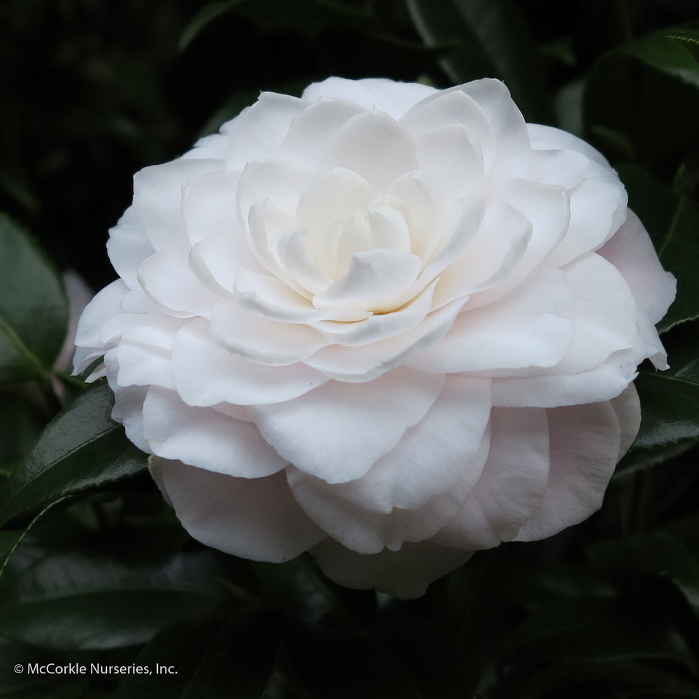 'Ruth Graham' Camellia - Buy Plants Online