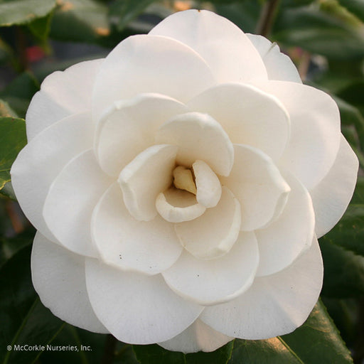'Sea Foam' Camellia - Buy Plants Online