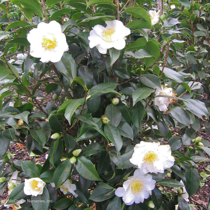 'Silver Waves' Camellia - Buy Plants Online