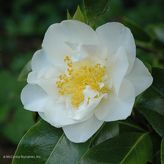 'Silver Waves' Camellia - Outside.com