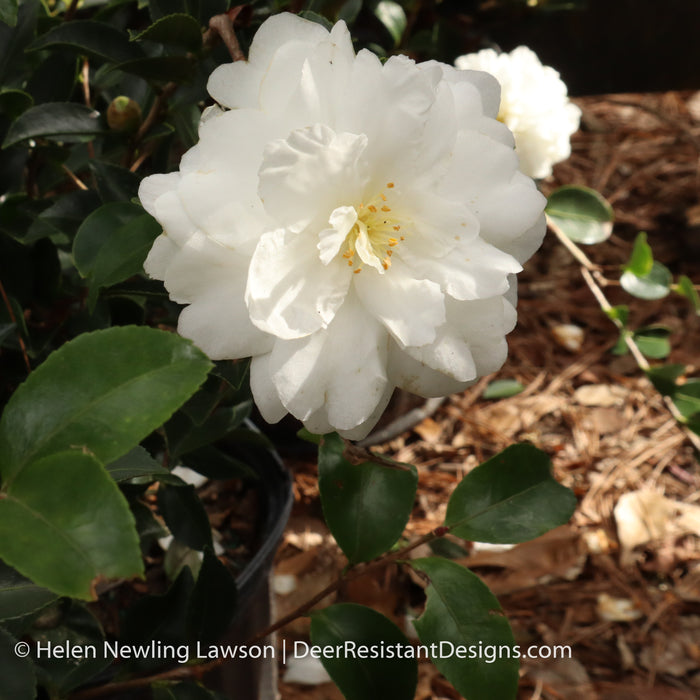 'Mine-No-Yuki' Camellia - Buy Plants Online