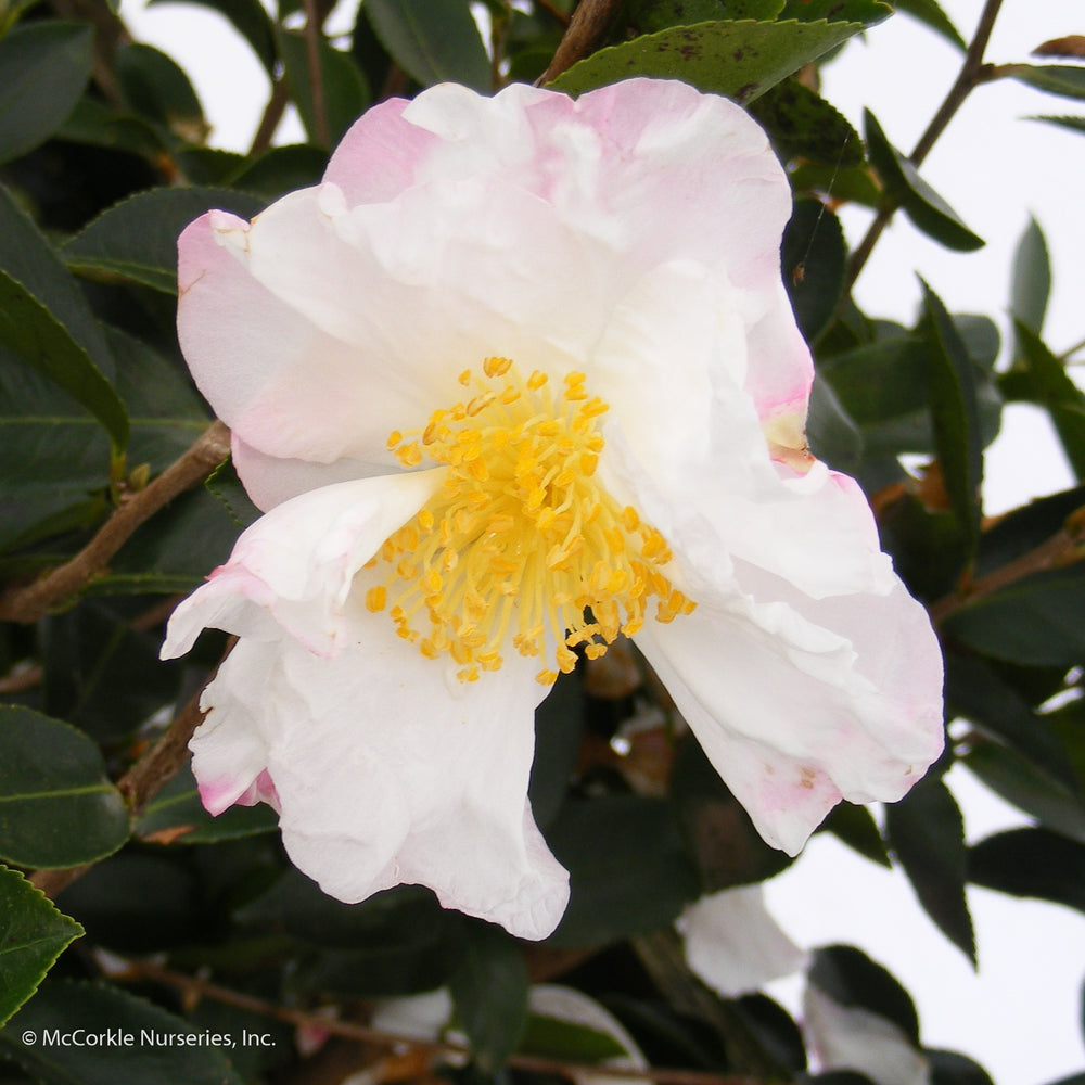 'Northern Lights' Camellia - Buy Plants Online