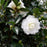 October Magic® Bride™ Camellia - Buy Plants Online