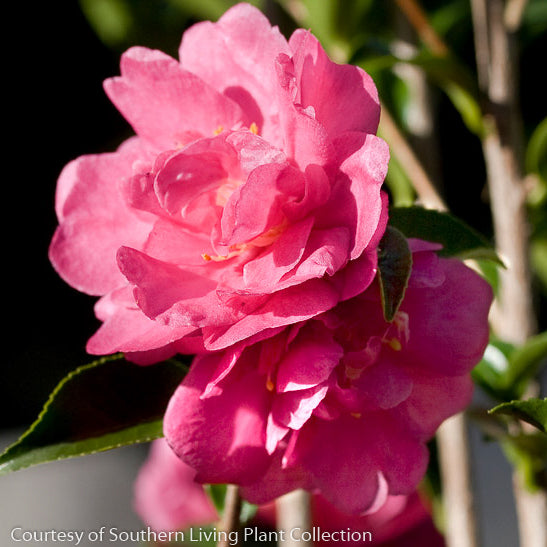 October Magic® Rose™ Camellia - Buy Plants Online