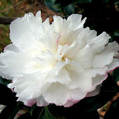 October Magic® Snow™ Camellia