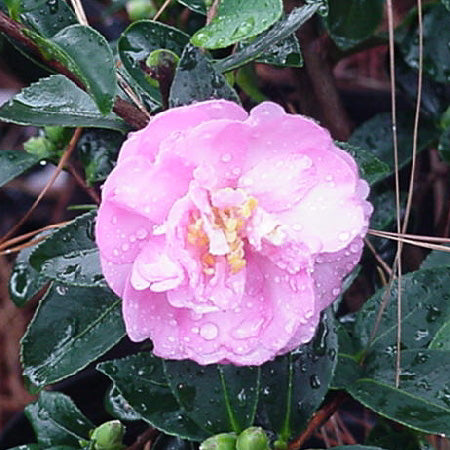 'Stephanie Golden' Camellia - Buy Plants Online