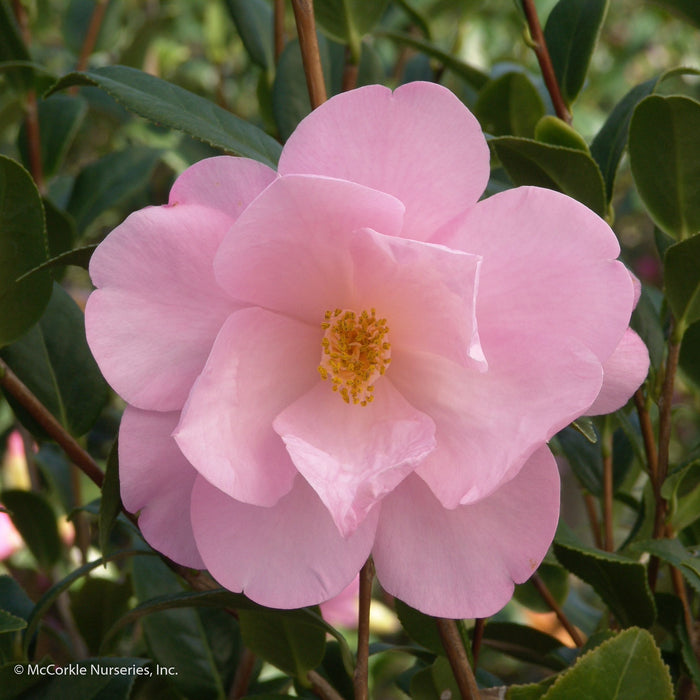 'Taylor's Perfection' Camellia - Buy Plants Online