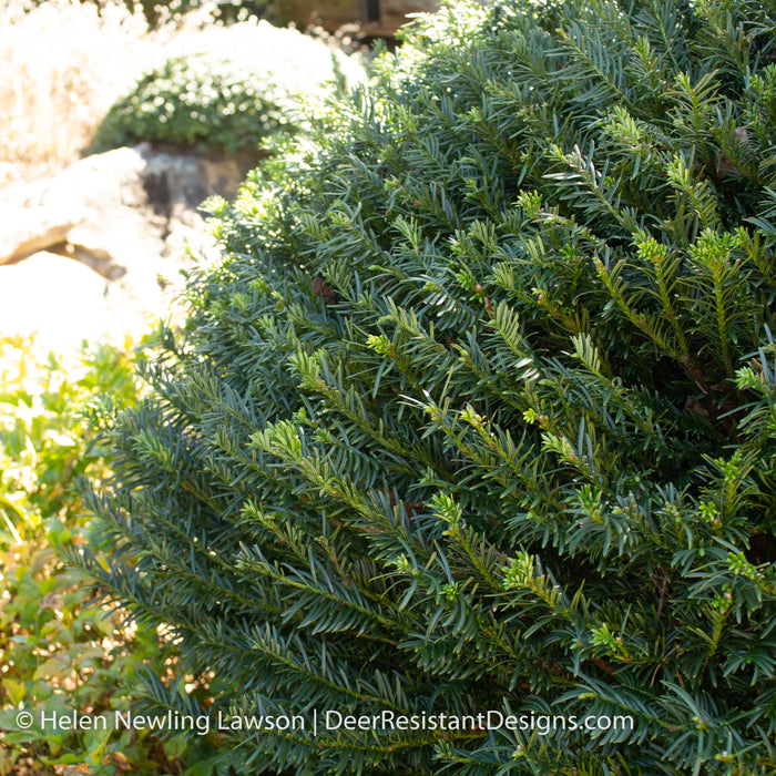 'Duke Gardens' Japanese Plum Yew - Buy Plants Online