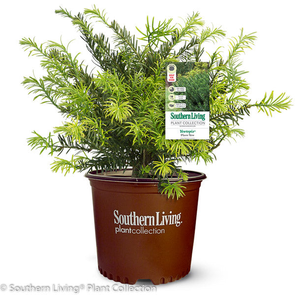 Yewtopia® Japanese Plum Yew in container
