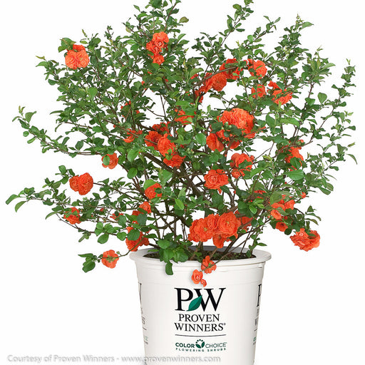 Double Take Orange™ Flowering Quince in container