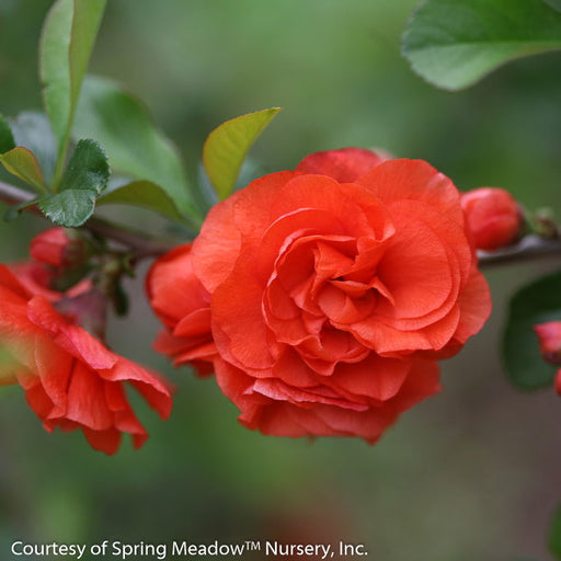 Double Take Orange™ Flowering Quince up close, bloom