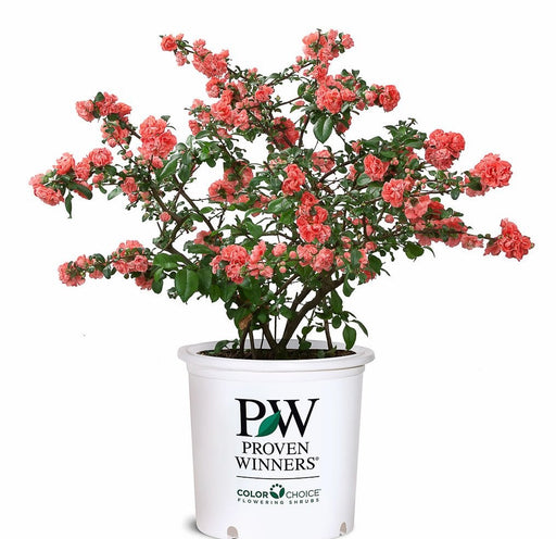 Double Take Pink™ Flowering Quince - Buy Plants Online