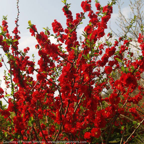 Double Take Scarlet™ Flowering Quince - Buy Plants Online