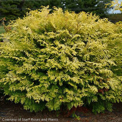 Night Light™ Hinoki Cypress - Buy Plants Online