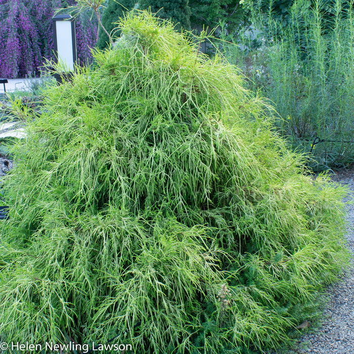 'Golden Mop' Threadleaf Sawara Cypress landscape shot