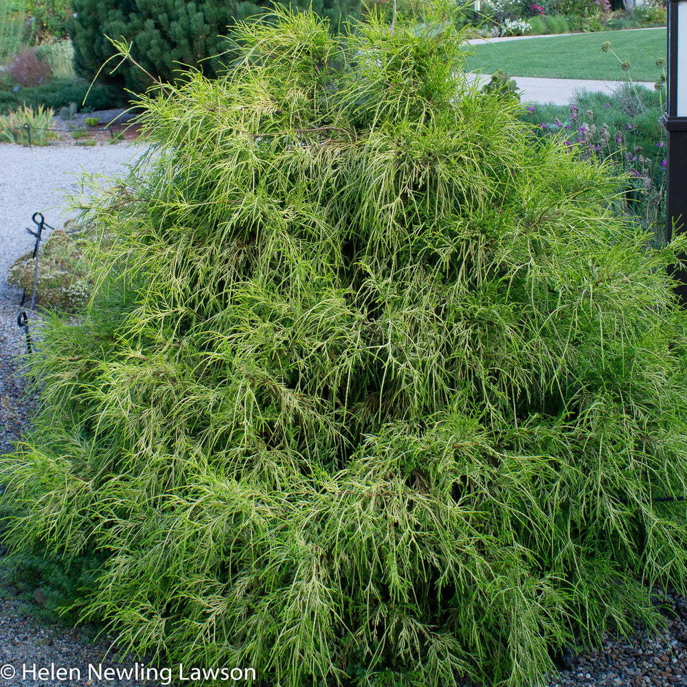 'Golden Mop' Threadleaf Sawara Cypress