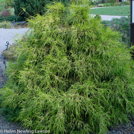 'Golden Mop' Threadleaf Sawara Cypress - Buy Plants Online