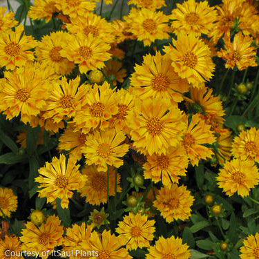 'Jethro Tull' Tickseed - Buy Plants Online