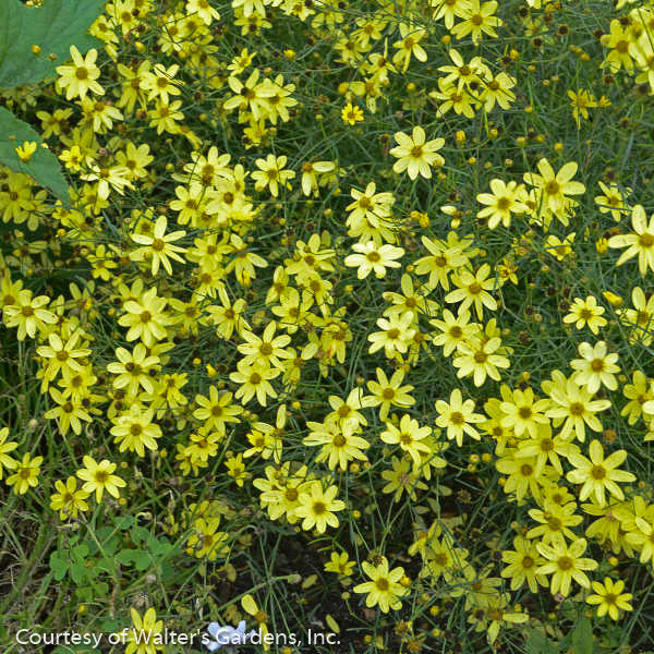 'Moonbeam' Tickseed - Buy Plants Online