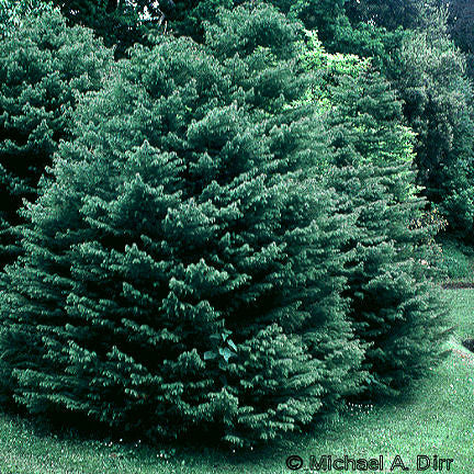 'Black Dragon' Japanese Cedar