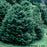 'Black Dragon' Japanese Cedar - Buy Plants Online