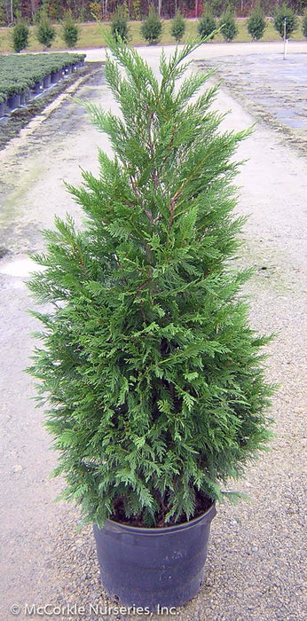 Leyland Cypress in container