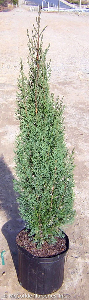 Italian Cypress in container