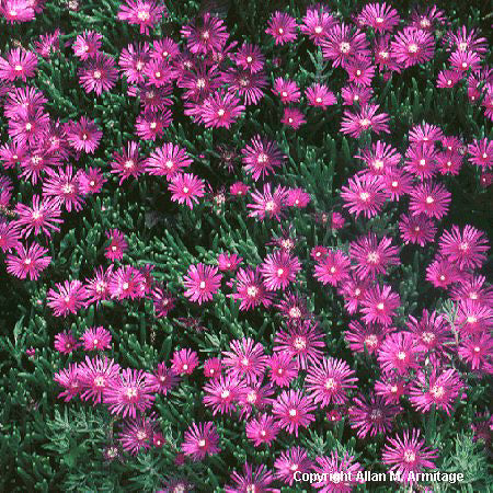 Hardy Ice Plant, Purple Ice Plant