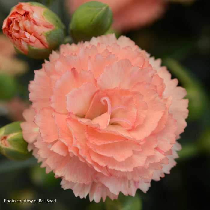 SuperTrouper® Orange Pinks - Buy Plants Online
