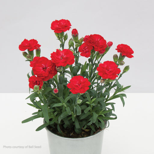 SuperTrouper® Scarlet Pinks in container