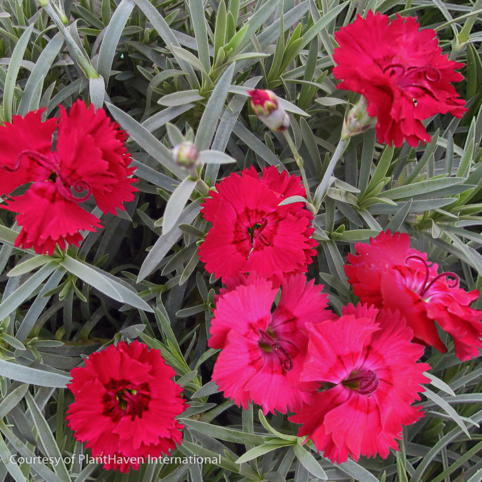 Fire Star Pinks - Buy Plants Online