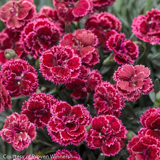 Fruit Punch® 'Black Cherry Frost' Pinks