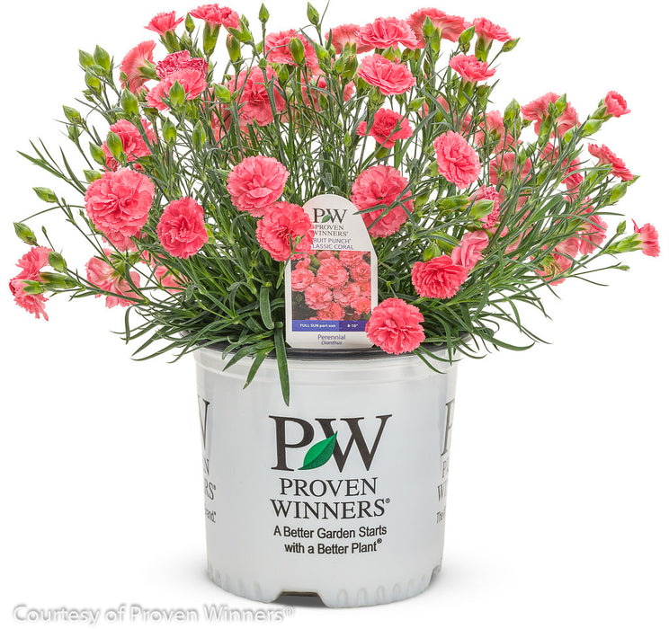 Fruit Punch® 'Classic Coral' Pinks in container