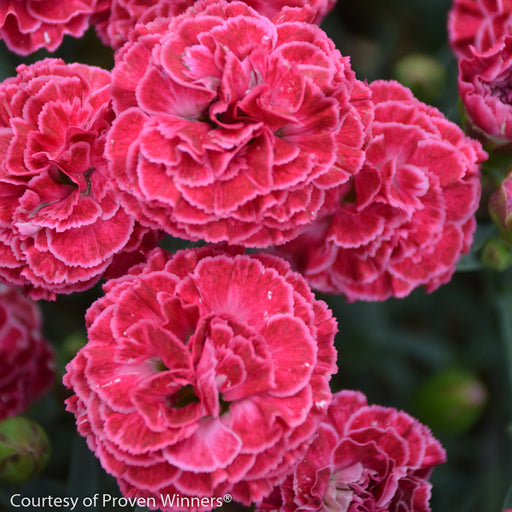 Fruit Punch® 'Raspberry Ruffles' Pinks - Buy Plants Online